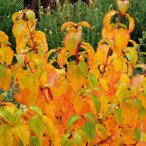Cornus sanguinea WINTER FLAME ® Anny