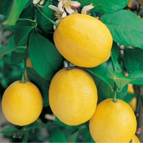 Citronnier Citrus limon Meyer