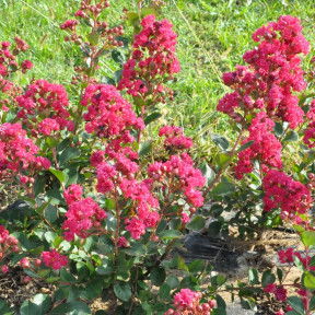 Lagerstroemia INDIYA CHARMS ® BRAISE D'ETE ® 'Indybra' buisson