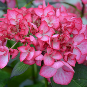 Hortensia macrophylla DUTCH LADIES ® Salsa Sidsalimp