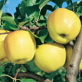 Pommier Golden Delicious