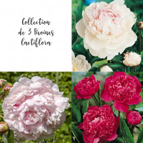 Collection de 3 Pivoines lactiflora