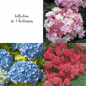 Collection de 3 hortensias
