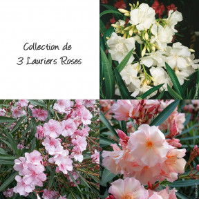 Collection 3 Lauriers-roses à fleurs doubles