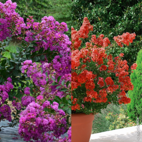 Collection de 2 Lagerstroemia ou Lilas des Indes