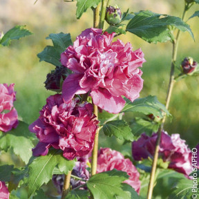 Althéa ou Hibiscus syriacus FRENCH CABARET ® Red 'Mindour1'