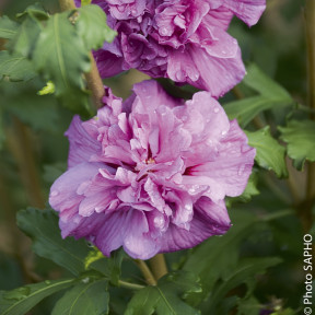 Althéa ou Hibiscus syriacus FRENCH CABARET ® Purple 'Mindouv5'