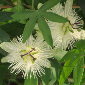 Passiflora X RIVERSIDE ® SNOW QUEEN ® Meilland Richardier