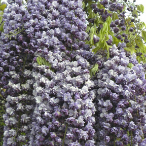 Glycine du Japon ou Wisteria floribunda 'Violacea Plena' Meilland Richardier