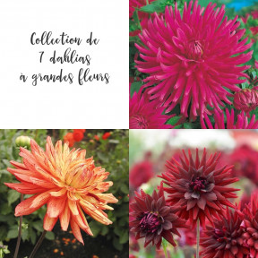 Collection de 7 dahlias à grandes fleurs