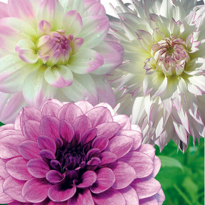 Dahlias Assortiment Nuances Délicates