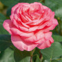 Rosier PANTHERE ROSE ® Meicapinal