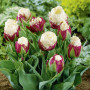 Tulipe double tardive Ice Cream