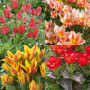 Collection de 40 Tulipes naines greigii