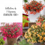 Collection de 3 Bégonias CRACKLING FIRE ®