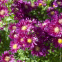 Aster de Nouvelle Belgique 'Winston S. Churchill'