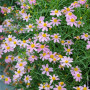 Coreopsis American Dream