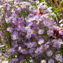 Aster d'automne haut 'Pink Star'