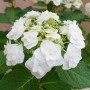 Hortensia macrophylla Wedding Gown cov
