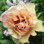 Pivoine hybride intersectionnelle ou Paeonia X Itoh 'Callies Memory'