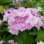 Hortensia macrophylla YOU AND ME ® Forever 'RIE01'