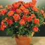 Rosier ORANGE SYMPHONIE ® Meininrut