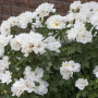 Rosier White KNOCK OUT® Radwhite