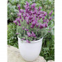 Lavande papillon THE PRINCESS ® Lavender