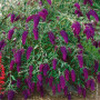 1 Buddleia Nanho Purple