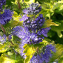 Caryopteris GOOD AS GOLD ® Novacargol