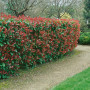Photinia Red Robin