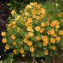 Potentille arbustive DOUBLE PUNCH ® Tango 'Minora07'