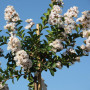 Lagerstroemia INDIYA CHARMS ® NEIGE D'ETE ® demi-tige
