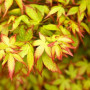 Erable du Japon ou Acer palmatum 'Little Princess'