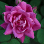 Rosier Pink Double KNOCK OUT ® Radtkopink