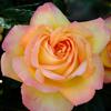 Vente de rosiers Mme A. Meilland