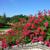 Vente de rosiers paysagers couvre sol