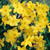 vente d'arbustes à feuillage décoratif
