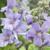 Vente arbustes à floraison estivale
