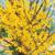 vente d'arbustes à floraison printanière