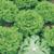 Vente de plants de salade