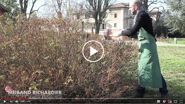 Quand Et Comment Tailler Un Rosier rosier : comment tailler ses rosiers ?