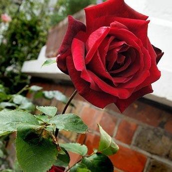 vente en ligne 2200 magnifiques rosiers plantes fruitiers. Black Bedroom Furniture Sets. Home Design Ideas