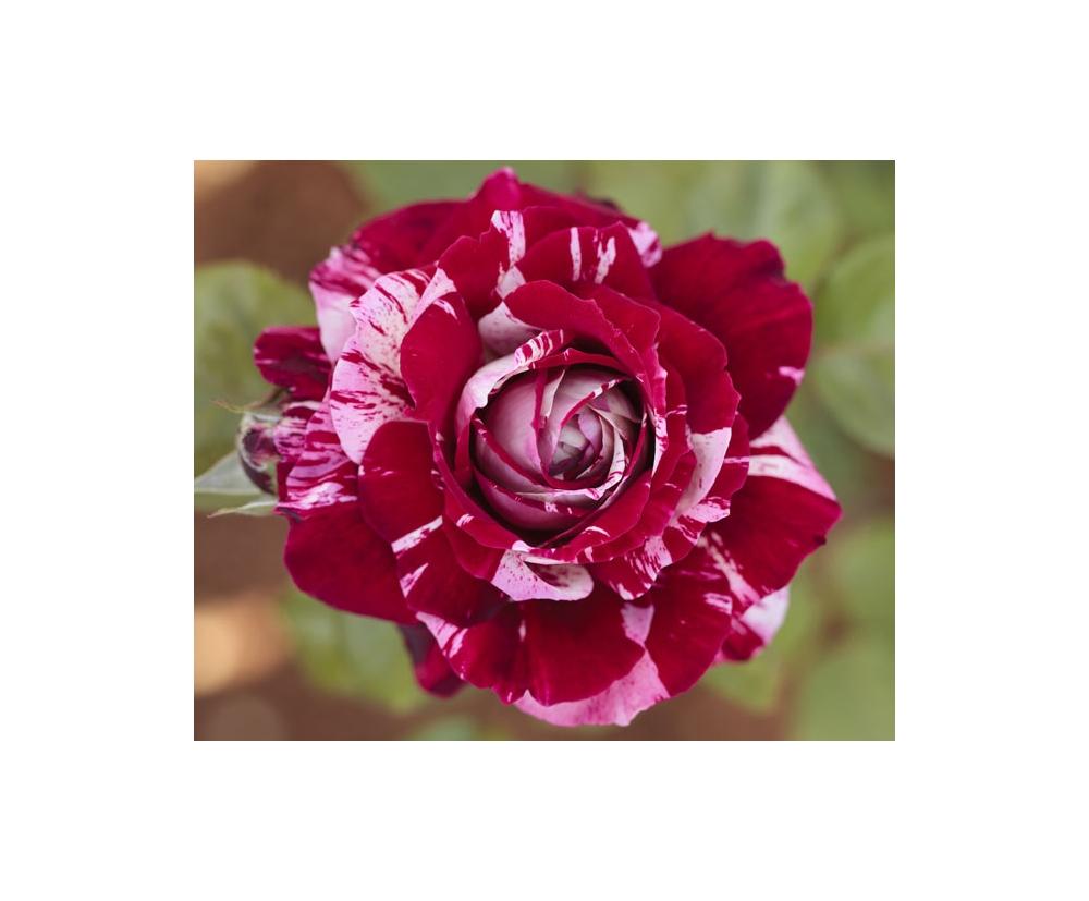 Rosier en racines nues conseils de plantation for Comment arroser un rosier en pot