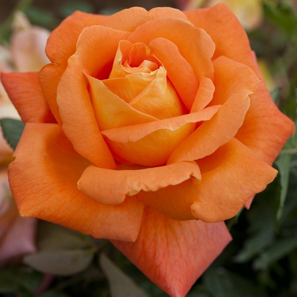 Rosier conseils d 39 entretien - Dessin de rosier ...