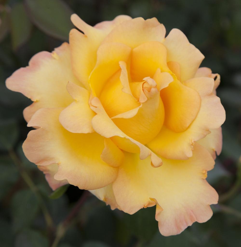 Faire Un Rosier Avec Une Rose rosier avec motte : conseils de plantation