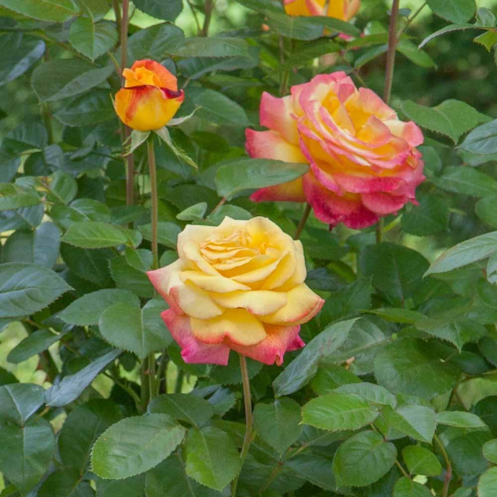 Quand Et Comment Tailler Un Rosier culture des rosiers en bacs ou pots pour balcons terrasses