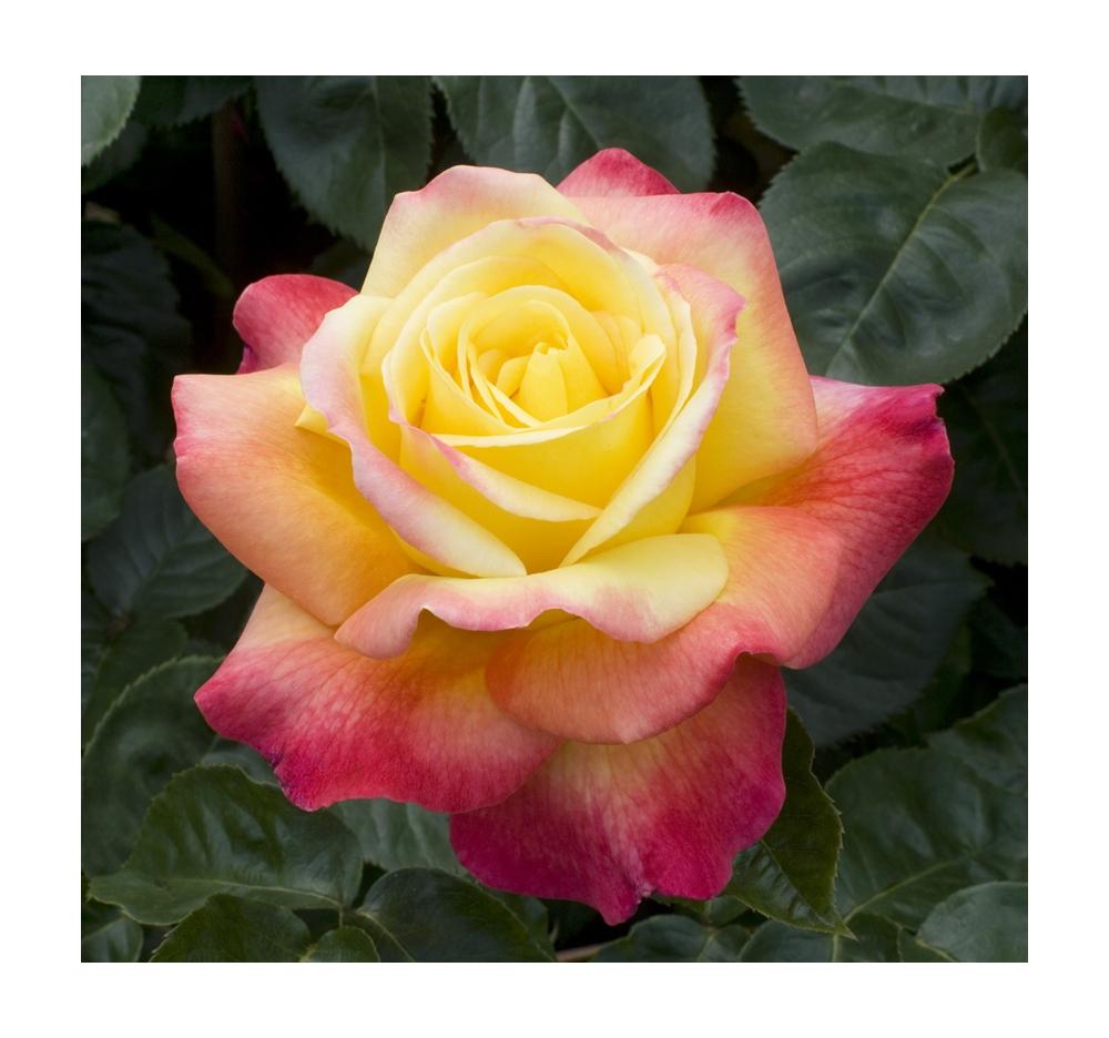 Culture des rosiers en bacs ou pots pour balcons terrasses - Rosier en pot soleil ...