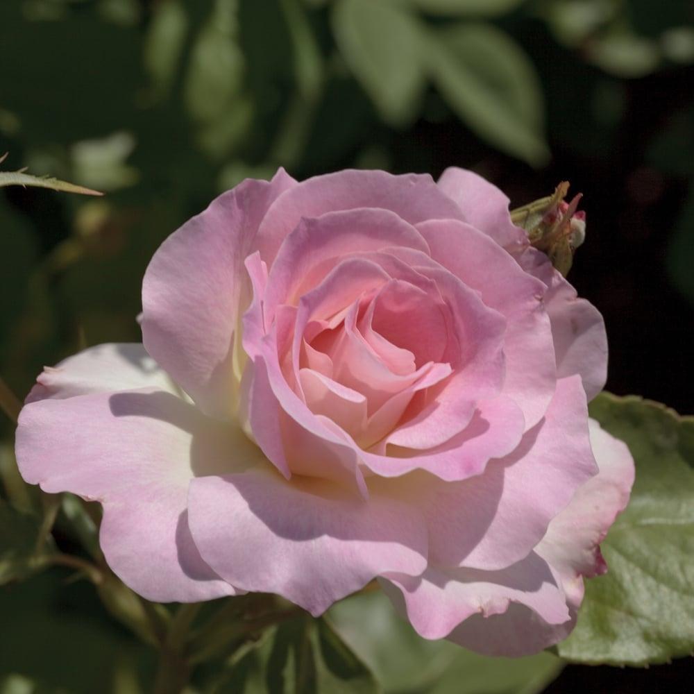 Quand Et Comment Tailler Un Rosier rosier : quels conseils de plantation ?