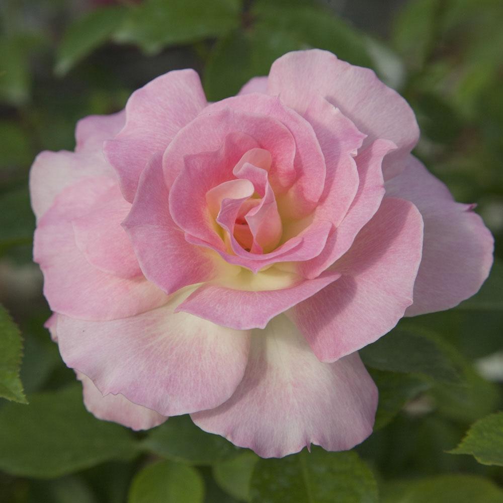 comment repiquer un rosier affordable comment planter un. Black Bedroom Furniture Sets. Home Design Ideas